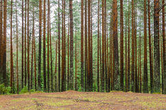 Δάσος πεύκων φθινοπώρου Στοκ Εικόνες