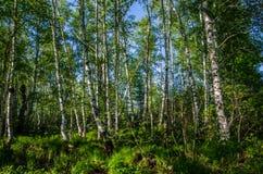 δάσος σημύδων που καλύπτεται με το πράσινο φύλλωμα Στοκ Φωτογραφία