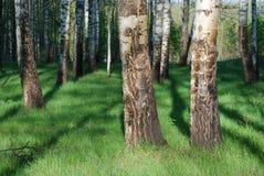δάσος σημύδων Στοκ Φωτογραφία