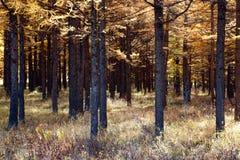 δάσος χρυσό Στοκ Εικόνες