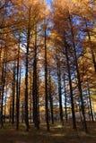 δάσος χρυσό Στοκ εικόνες με δικαίωμα ελεύθερης χρήσης