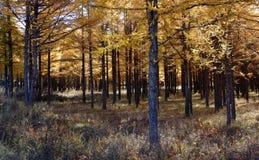 δάσος χρυσό Στοκ Φωτογραφίες