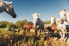 Άσπρα άγρια άλογα και πουλάρι στην επιφύλαξη φύσης Parc Regional de Camargue Στοκ φωτογραφία με δικαίωμα ελεύθερης χρήσης