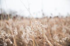 Άσπρα άγρια λουλούδια και ξηρές υψηλές χλόες στη κομητεία Mascatatuck στοκ εικόνα