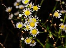 Άσπρα άγρια λουλούδια με τα κίτρινα κέντρα Στοκ φωτογραφίες με δικαίωμα ελεύθερης χρήσης