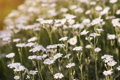 Άσπρα άγρια λουλούδια στο θολωμένο υπόβαθρο φύσης Στοκ Εικόνες