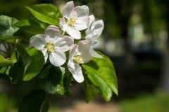 Άσπρα άνθη άνοιξη Ανθίζοντας κλάδος δέντρων μηλιάς στον κήπο r στοκ εικόνες με δικαίωμα ελεύθερης χρήσης
