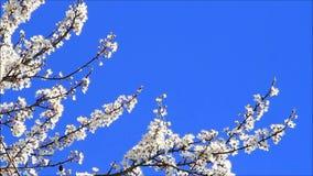 άσπρα άνθη δέντρων δαμάσκηνων ενάντια στο μπλε ουρανό απόθεμα βίντεο