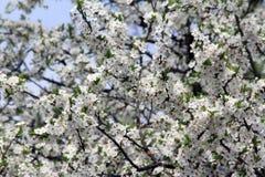 Άσπρα άνθη δέντρων δαμάσκηνων Στοκ εικόνα με δικαίωμα ελεύθερης χρήσης