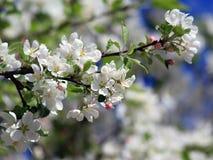 Άσπρα άνθη δέντρων μηλιάς Στοκ Φωτογραφίες