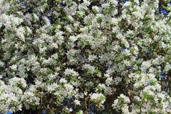 Άσπρα άνθη δέντρων μηλιάς Στοκ Εικόνες