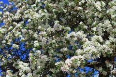 Άσπρα άνθη δέντρων μηλιάς Στοκ εικόνα με δικαίωμα ελεύθερης χρήσης
