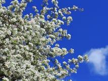 Άσπρα άνθη δέντρων μηλιάς Στοκ φωτογραφία με δικαίωμα ελεύθερης χρήσης