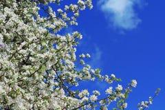 Άσπρα άνθη δέντρων μηλιάς Στοκ εικόνες με δικαίωμα ελεύθερης χρήσης