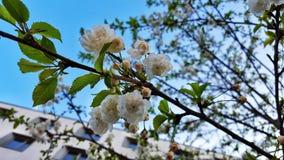 Άσπρα άνθη δέντρων Στοκ Φωτογραφίες