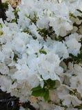 Άσπρα άνθη αζαλεών στο θάμνο στοκ φωτογραφία