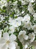 Άσπρα άνθη ανοικτά ευρέως στο δέντρο στοκ εικόνες
