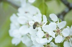 Άσπρα άνθη αχλαδιών με ένα ζωύφιο Στοκ Εικόνα
