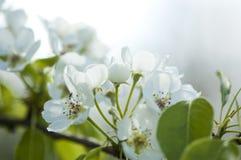 Άσπρα άνθη αχλαδιών Στοκ φωτογραφίες με δικαίωμα ελεύθερης χρήσης