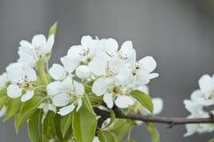 Άσπρα άνθη αχλαδιών Στοκ Εικόνα
