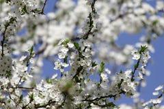 Άσπρα άνθη ενάντια στον ουρανό στην ανατολή ανθίζοντας ερυθρελάτες άνοιξη φύσης ανθών Οι οπωρώνες είναι ανθίζοντας στην άνοιξη Η  στοκ εικόνα