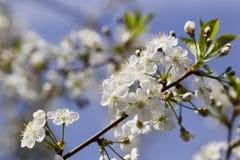 Άσπρα άνθη κερασιών, ηλιοφάνεια, μακροεντολή Στοκ Εικόνες