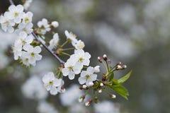 Άσπρα άνθη κερασιών, ηλιοφάνεια, μακροεντολή Στοκ φωτογραφίες με δικαίωμα ελεύθερης χρήσης
