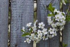 Άσπρα άνθη κερασιών, ηλιοφάνεια, μακροεντολή Στοκ φωτογραφία με δικαίωμα ελεύθερης χρήσης