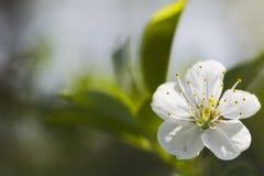 Άσπρα άνθη κερασιών, ηλιοφάνεια, μακροεντολή Στοκ εικόνες με δικαίωμα ελεύθερης χρήσης