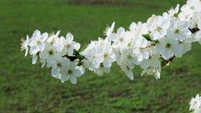 Άσπρα άνθη κερασιών στο πάρκο απόθεμα βίντεο