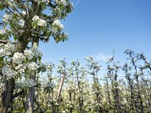 Άσπρα άνθη μήλων στον ολλανδικό οπωρώνα με το μπλε ουρανό Στοκ φωτογραφία με δικαίωμα ελεύθερης χρήσης