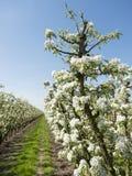 Άσπρα άνθη μήλων στον ολλανδικό οπωρώνα με το μπλε ουρανό Στοκ φωτογραφίες με δικαίωμα ελεύθερης χρήσης