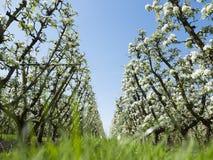 Άσπρα άνθη μήλων στον ολλανδικό οπωρώνα με το μπλε ουρανό Στοκ Εικόνα