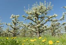 Άσπρα άνθη μήλων στον ολλανδικό οπωρώνα με το μπλε ουρανό Στοκ εικόνα με δικαίωμα ελεύθερης χρήσης