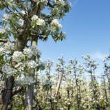 Άσπρα άνθη μήλων στον ολλανδικό οπωρώνα με το μπλε ουρανό Στοκ Εικόνες