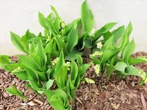 Άσπρα άνθη στην πράσινη Lilly--ο-κοιλάδα στον προστατευτικό κήπο Στοκ εικόνες με δικαίωμα ελεύθερης χρήσης