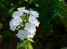 Άσπρα άνθη. Στοκ Φωτογραφίες