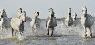 Άσπρα άλογα τρεξίματος μέσω του νερού στοκ εικόνες