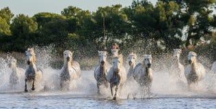 Άσπρα άλογα Camargue που οργανώνονται στην επιφύλαξη φύσης ελών camargue de parc περιφερειακό Γαλλία Προβηγκία Στοκ φωτογραφίες με δικαίωμα ελεύθερης χρήσης