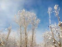 Άσπρα δέντρα με τους μπλε ουρανούς Στοκ φωτογραφία με δικαίωμα ελεύθερης χρήσης