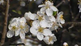 Άσπρα ανθίζοντας δέντρα μηλιάς την άνοιξη o φιλμ μικρού μήκους