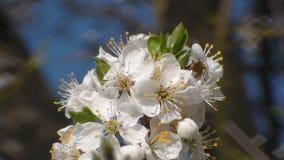 Άσπρα ανθίζοντας δέντρα μηλιάς την άνοιξη o απόθεμα βίντεο