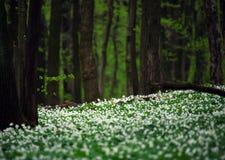 Άσπρα ανθίζοντας λουλούδια στο πράσινο δάσος μεταξύ των δέντρων Στοκ φωτογραφία με δικαίωμα ελεύθερης χρήσης