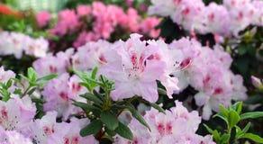 Άσπρα ανοικτό ροζ λουλούδια αζαλεών Στοκ Εικόνες