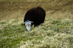 Άσπρα αντιμέτωπα πρόβατα Στοκ Φωτογραφία