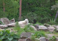 Άσπρα αρκτικά arctos Λύκου Canis λύκων Στοκ εικόνες με δικαίωμα ελεύθερης χρήσης