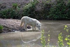 Άσπρα αρκτικά arctos Λύκου Canis λύκων Στοκ Εικόνα