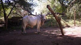 Άσπρα βοοειδή Brahma αγελάδων της Κόστα Ρίκα που στέκονται με την ξύλινη έμφραξη στοκ φωτογραφία με δικαίωμα ελεύθερης χρήσης