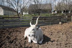 Άσπρα βοοειδή Στοκ Φωτογραφίες