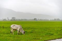 Άσπρα βοοειδή Στοκ Φωτογραφία